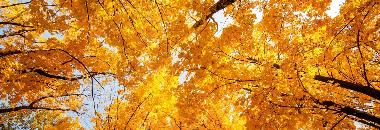 orange leaves on trees looking up at canopy